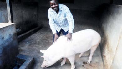 elevage des porcs