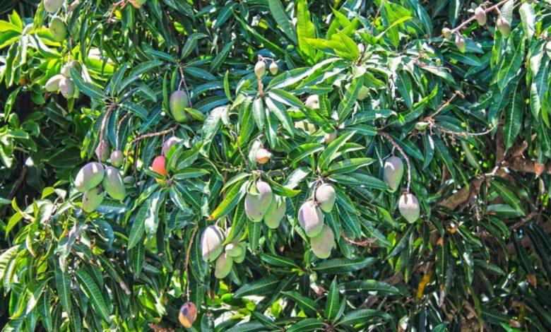 Feuille de manguier et oignon
