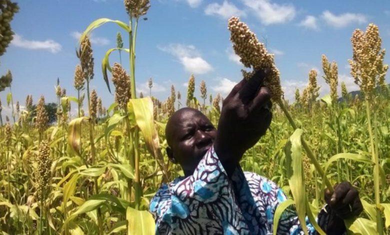 maïs, sorgho et manioc